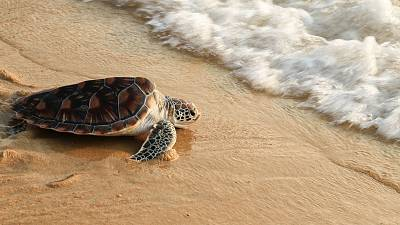 """These """"cold-stunned"""" turtles are glad to be back in the ocean"""