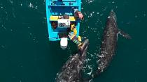 Grey whales save pandemic-hit tourism in Mexico's Baja California