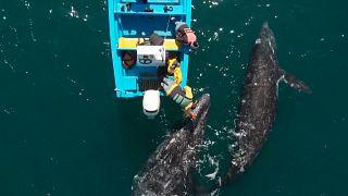 Mexique : les baleines grises et les touristes de retour
