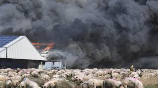 A firefighter walks between pigs after a fire broke out in a large pig farm in Alt Tellin, Germany, March 30, 2021.