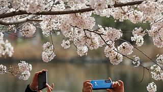 People snapping photos of the blossom in Beijing