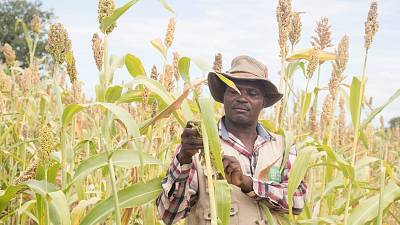 Small holder farmer, Savirios Chingura inspects his almost ready for harvest sorghum in his field in Gokwe South, Zimbabwe