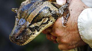 Piton yılanı