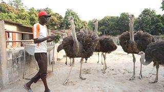 Senegal ostrich farming turn lucrative business