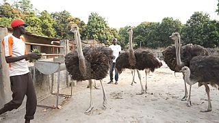 L'élevage d'autruches au Sénégal, une activité lucrative