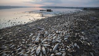 Мёртвая рыба на побережье Греции, сентябрь 2019 года