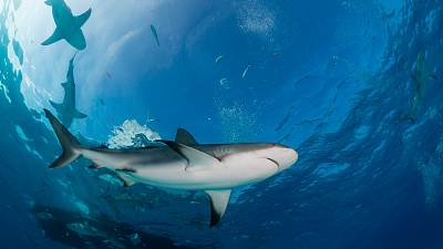 Could shark fishing become legal again in the Maldives?
