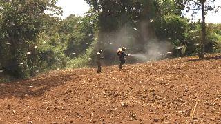 شاهد: موجة كبيرة من أسراب الجراد تهدد الأمن الغذائي في كينيا