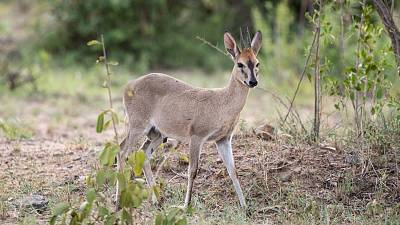 A small duiker captured in South Africa