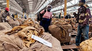 Tobacco sales season kicks off in Zimbabwe with impressive harvest