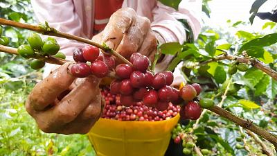 A worker harvests coffee cherries at a farm in Colombia.