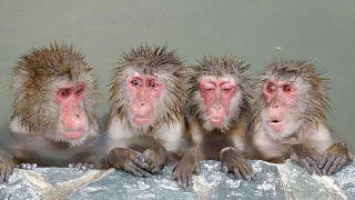 (illusztráció) Makákók fürdenek egy japán állatkertben