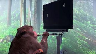 Pong oyununu oynayan Neuralink çipli maymun.