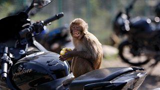 میمونها در هند