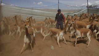فيكونا البرية في حظيرة مؤقتة داخل محمية أبولوبامبا الطبيعية، الموطن الطبيعي للحيوان بالقرب من قرية أوشا أوشا، بوليفيا