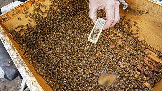 Deutsche Forscher haben das Sozialleben von Bienen auf seltenen Aufnahmen dokumentiert