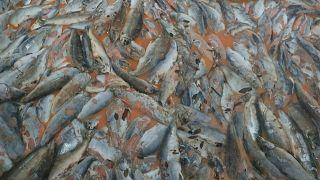 """طحالب """"قاتلة"""" تقضي على 4200 طن من أسماك السلمون في تشيلي"""