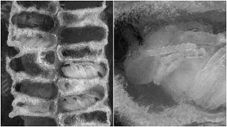 تصوير خاص يظهر مراحل تطور يرقات النحل - ألمانيا