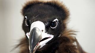 FILE: a vulture looks out from its caring room at Kasetsart university pet hospital in Bangkok, Thailand - March 7, 2007.