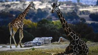 Kenya: Happy ending to Rothschild's giraffe rescue mission saga