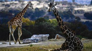 Kenya : fin du sauvetage des girafes coincées sur le lac Baringo
