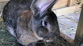 Tavşan Darius