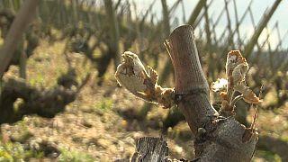 les vignobles de Côte-rôtie
