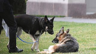 كلبا بايدن البطل والرائد في الحديقة الجنوبية للبيت الأبيض في واشنطن العاصمة.
