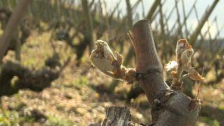 Пострадавший от заморозка виноградник в департаменте Рона, Франция