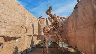 Una giraffa di Rotschild viene tratta in salvo da un'isola inondata dalle piogge in Kenya, 3 dicembre 2020