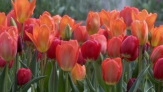 Tulips blooming at Hampton Court Palace
