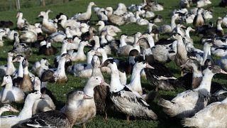 صورة من الارشيف - طيور مصابة بمرض أنفلاونزا الطيور في مزرعة لإنتاج الدواجن، فرنسا