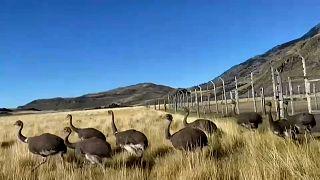 Los ñandúes disfrutan por primera vez de la vida silvestre en Chile