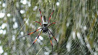 Örümcek ağının telleri uzunluk ve kalınlıklarına göre farklı frenkansta sesler çıkarıyor