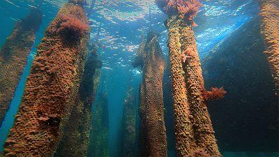 Mussel aquaculture in Mutriku, Spain