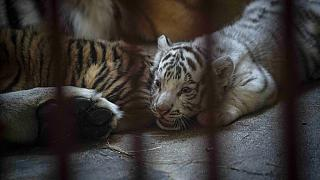 El recién nacido tigre de Bengala blanco