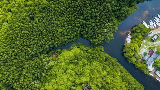 What are mangroves and why are they the key to saving the planet?