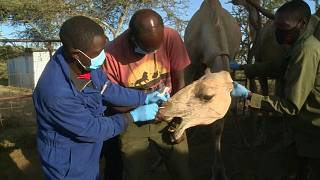 جهود في كينيا لمراقبة الجِمال خشية تحولها مستقبلاً مصدراً لجائحة جديدة