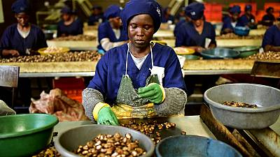 Côte d'Ivoire : le manque à gagner des producteurs de noix de cajou