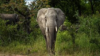 elefánt a Kruger Nemzeti Parkban Dél-Afrikában