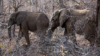 'Hunter hunted': Suspected poacher killed by elephants in South Africa