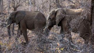 Afrique du Sud : un braconnier piétiné par un troupeau d'éléphants