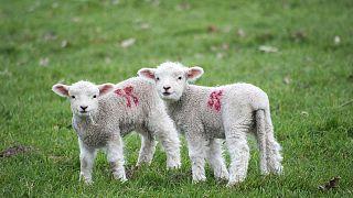 """Правила ЕС по защите сельскохозяйственных животных нуждаются в """"серьезном и всестороннем пересмотре"""""""