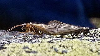 """Kosovalı biyolog Halil İbrahimi'nin keşfettiği yeni böcek türü """"Potamophylax Koronavirüs"""" adını verdi."""