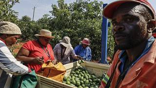 سرقة الأفوكادو تدرّ إيرادات طائلة في جنوب إفريقيا