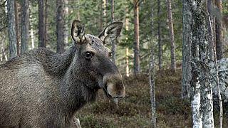 Ein Elch in Kullberg, Schweden, 2020 (Die Video-Aufnahmen sind aus dem vergangenen Jahr)