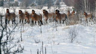 أحصنة برية في المنطقة المحظورة في تشرنوبيل الأوكرانية