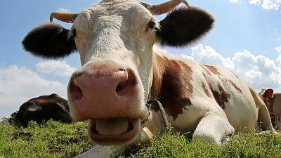 Cows burps