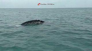 La balena grigia