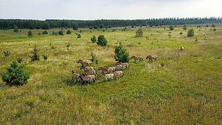 اسبهای وحشی در منطقه چرنوبیل